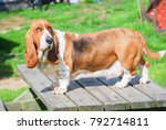 Lovely Basset Hound Tricolor...