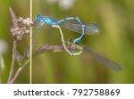 Common Blue Damselfly ...