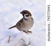 rare eurasian tree sparrow... | Shutterstock . vector #792772441