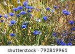 blue cornflower between golden... | Shutterstock . vector #792819961