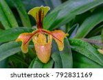 lady's slipper orchid or...   Shutterstock . vector #792831169