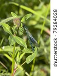 Small photo of a male banded agrion also known as banded demoiselle or agrion splendens resting on clover