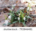 snowdrops are symbol of hope... | Shutterstock . vector #792846481