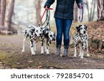 Stock photo dog walker with dalmatian dogs enjoying in park 792854701