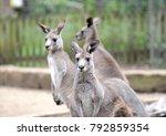 Eastern grey kangaroo  seen...