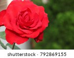 isolated big red rose in a... | Shutterstock . vector #792869155