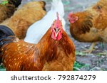 screaming ginger rooster cock a ... | Shutterstock . vector #792874279