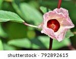Hibiscus Sabdariffa  Roselle ...