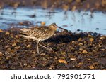 Eurasian Curlew  Curlew ...