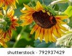 closeup of a brilliant yellow... | Shutterstock . vector #792937429