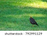 Small photo of Pitiful black Myna bird with a featherless head, hoping around a park in Bangkok, Thailand, oblivious of its difference.