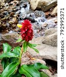 Small photo of Costus spicatus, Alpinia spicata Family: Costaceae Spiked Spiralflag, Red Button Ginger at Rock Waterfall, Byron Bay Hinterland, Australia