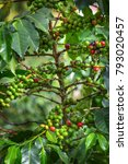 coffee beans ripening on tree... | Shutterstock . vector #793020457