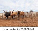 australian cattle with horns on ... | Shutterstock . vector #793060741