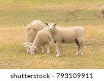 Three Baby Sheep On Dry Green...
