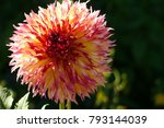 A Huge Flower Of Red Dahlia. A...