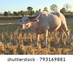 Small photo of Albinoid buffaloes grazing