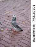 Feral Pigeon At Pavement Level...