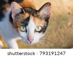 Close Up Yellow Cats Eyes   A...