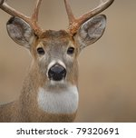Whitetail Buck Isolated Close...