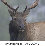 close-up of a bull Elk through for in California's coastal rain forest - stock photo