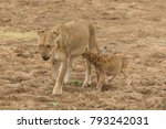 a lion cub desperately tries to ... | Shutterstock . vector #793242031