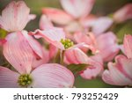 an abundance of flowering pink... | Shutterstock . vector #793252429
