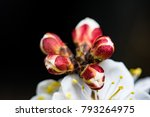 blooming apricot branch in... | Shutterstock . vector #793264975