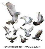 Pigeon flying isolated on white ...