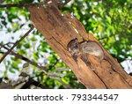 ankarana sportive lemur ... | Shutterstock . vector #793344547