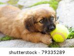 Stock photo small brown puppy old only few weeks is playing with ball 79335289