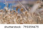 oats spikelets on the... | Shutterstock . vector #793354675