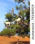famous moroccan scene   goats... | Shutterstock . vector #793383919