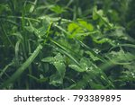 Leaves Of Sedge  Carex  And...