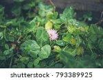Clover Flower In Raindrops