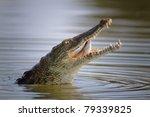 Nile Crocodile Swallowing A...