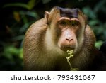 the southern pig tailed macaque ... | Shutterstock . vector #793431067