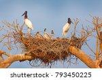 jabiru family in nest. parents... | Shutterstock . vector #793450225