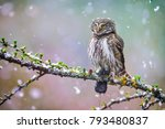 Stock photo owl in beautiful forest pygmy bird owl in snowfall small owl in natural habitat with mouse in 793480837