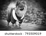 the wear  aggressive spitz dog... | Shutterstock . vector #793509019