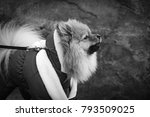 the wear  aggressive spitz dog... | Shutterstock . vector #793509025