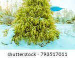 Small photo of Winter landscape of vibrant lurch evergreen tree in front of a blue umbrella awning in a snow covered public park