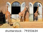 giraffes at the london zoo in... | Shutterstock . vector #79353634