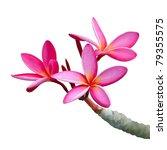 Stock photo plumeria flowers isolated on white 79355575