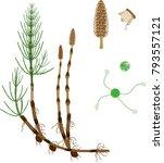 equisetum arvense  horsetail ... | Shutterstock .eps vector #793557121