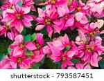 poinsettia  euphorbia... | Shutterstock . vector #793587451