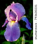 Single Purple Bearded Iris...
