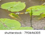 green lotus is budding in the... | Shutterstock . vector #793646305