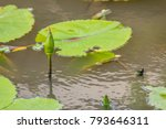 green lotus is budding in the... | Shutterstock . vector #793646311
