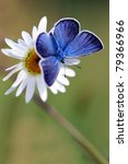 Stock photo blue butterfly on white flower 79366966
